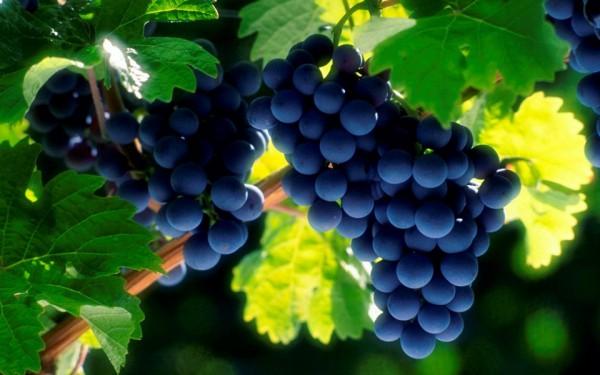 Здоровая гроздь винограда