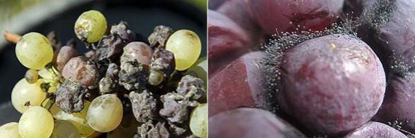 Пораженный черной гнилью виноград