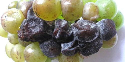 Виноград, зараженный черной гнилью