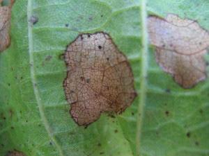 Антракноз на листьях и плодах винограда